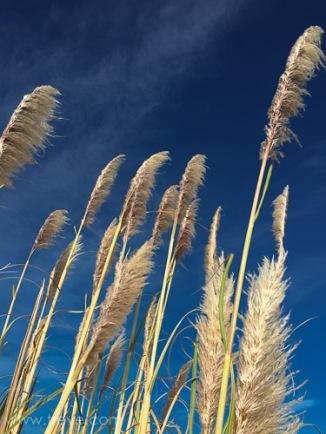 Pampus Grass and Ski. Miller/Knox Regional Shoreline