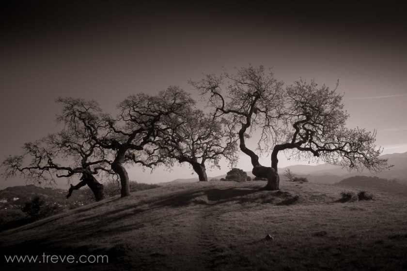 Oak Trees on Mount Burdell