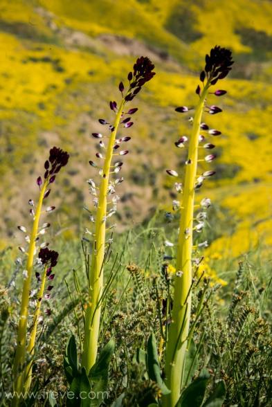 Desert Candle, Caulanthus inflatus. The Temblor Range. Carrizo Plain National Monument.