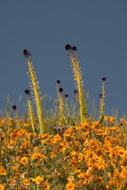 Desert Candle, Caulanthus inflatus. The Temblor Range. Carrizo Plain National Monument.