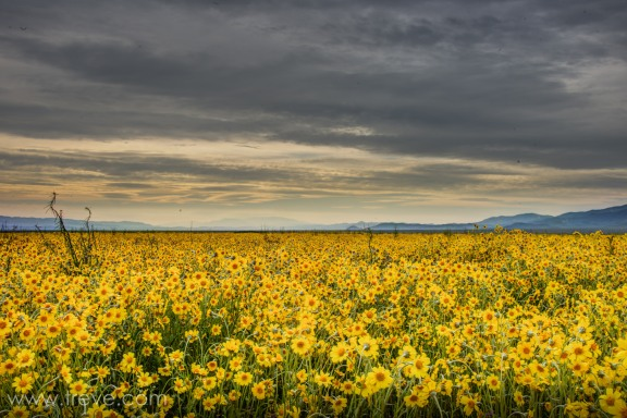 Fields of coreposis on the Carrizo Plain