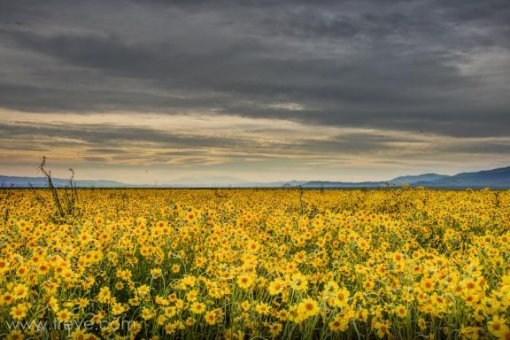 Fields of coreposis on the Carrizo Plain