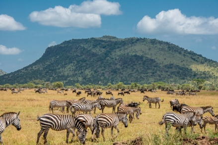Herd of Zebra and Wildebeest in the Serengeti