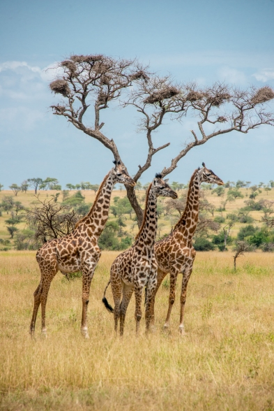 Masai giraffe (G. c. tippelskirchi) in the central Serengeti woodlands