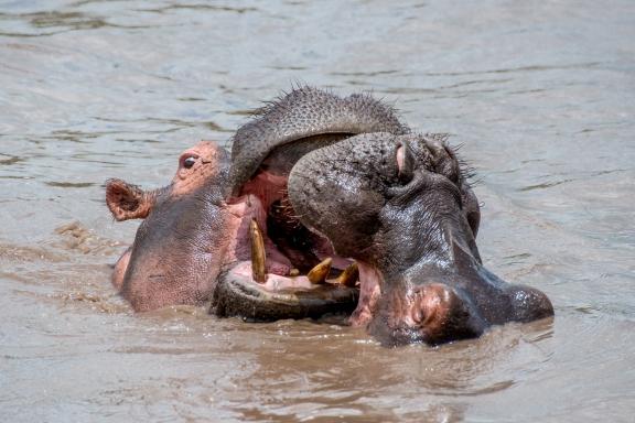 hippopotamus (Hippopotamus amphibius) in the Retina Pool.