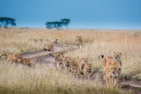 Pride of lions on the way home from the hunt