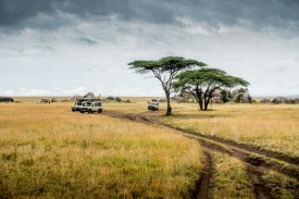 A cluster of safari trucks out hunting for lions.
