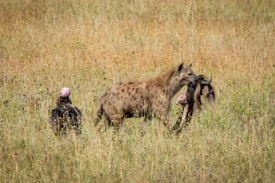 spotted hyena (Crocuta crocuta) stealing from vultures