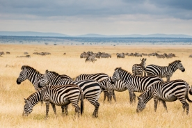 Zebra and Wildebeest on the Serengeti
