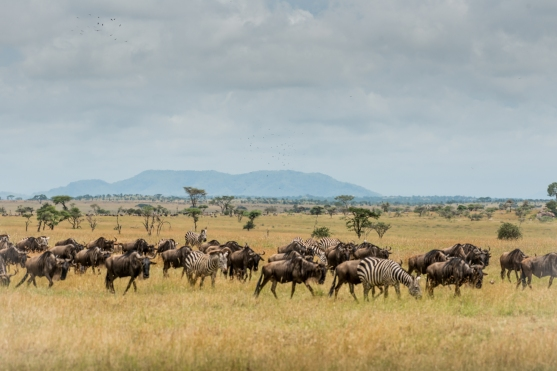 Wildebeest and zebra on migration
