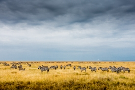 Zebra and Wildebeest on the Serengeti