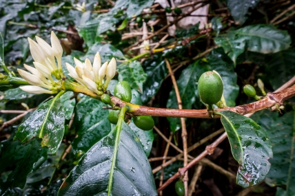 Coffee plant with flowers and beans
