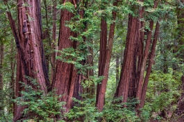 Redwoods at Memorial County Park in San Mateo County