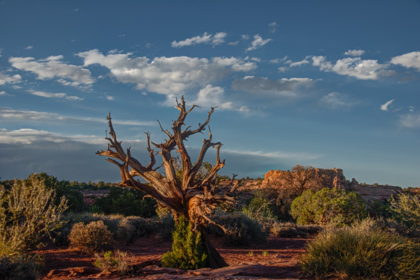 Juniper and sky at Island in the Sky. Canyon Lands National Park.