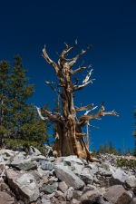 Bristlecone Pine. Great Basin National Park.